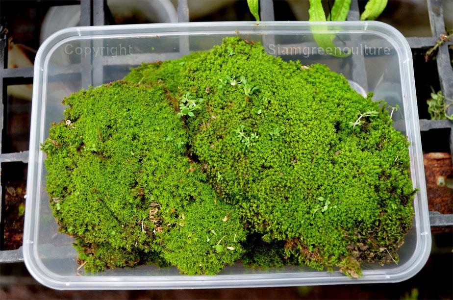Tropical Moss F Rare Terrarium Plant